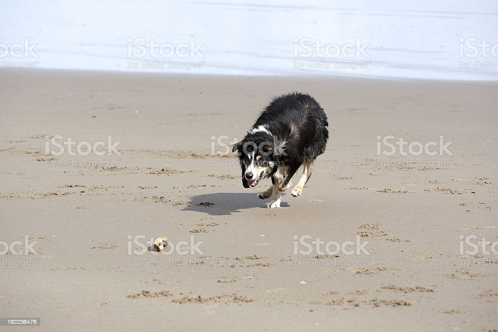 Border collie running on the beach royalty-free stock photo