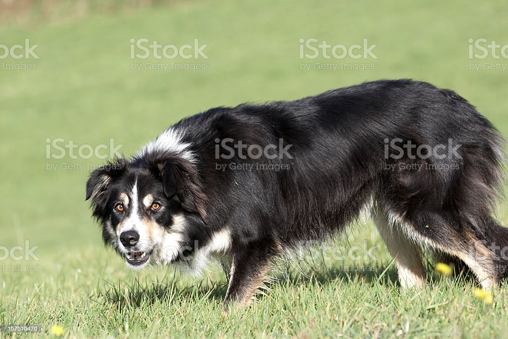 Border collie running on the grass stock photo