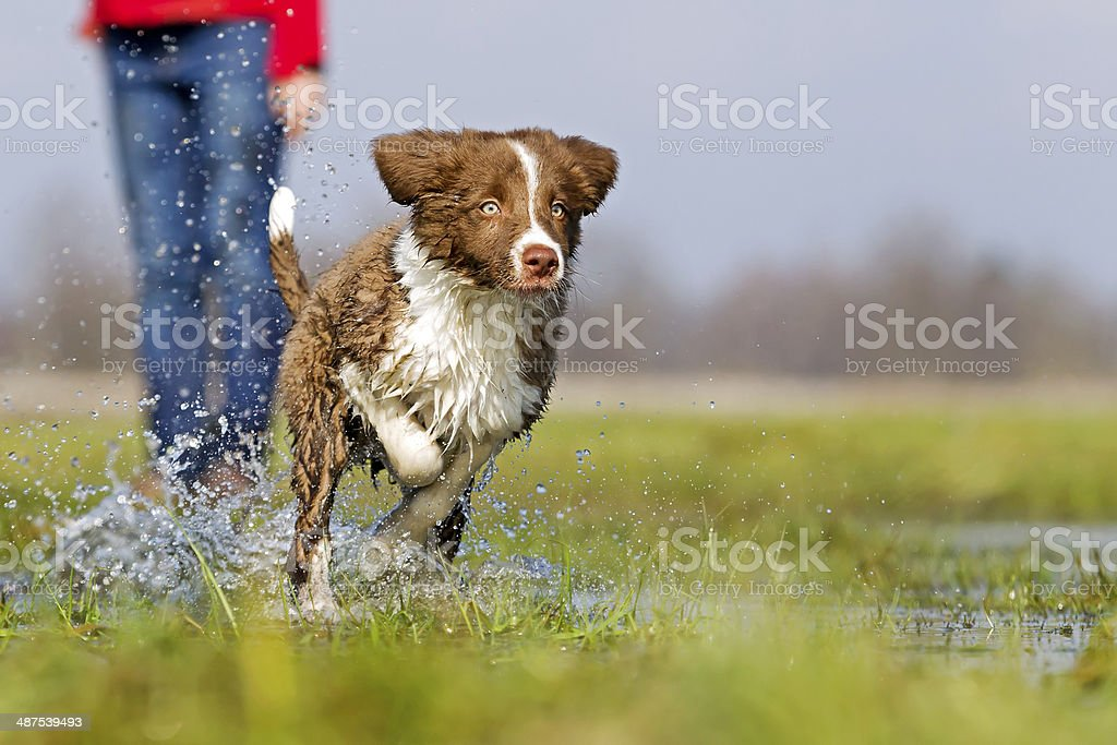Border collie running through water stock photo