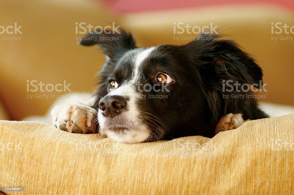 Border collie sat on sofa in living room looking outside stock photo