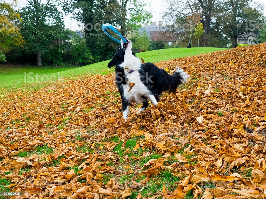 Border collie Sheep dog playing – Foto