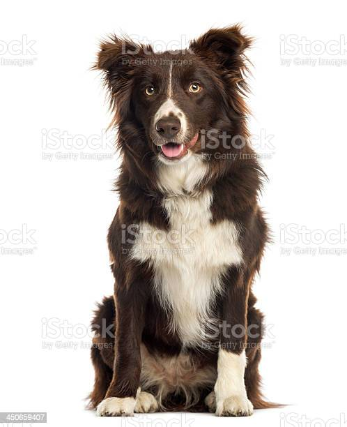 Border collie sitting 9 months old isolated on white picture id450659407?b=1&k=6&m=450659407&s=612x612&h=rmtq0ekuuox5j l hzkkpbewe6c6331cc7olyvzsrg4=