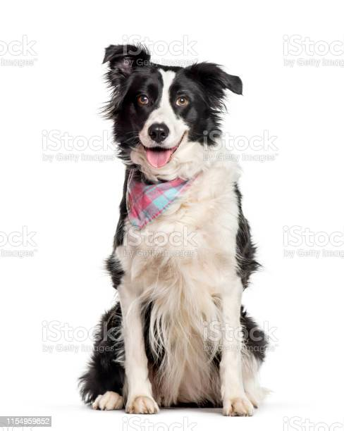 Border collie sitting against white background picture id1154959852?b=1&k=6&m=1154959852&s=612x612&h=y6wkpgfeoqoszrgk5ze6tkktsrxurh5evr2ootvmsf4=