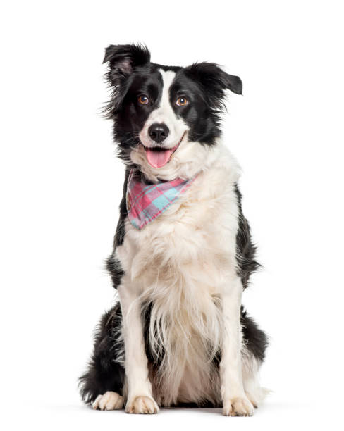 Border collie sitting against white background picture id1154959852?b=1&k=6&m=1154959852&s=612x612&w=0&h=kzjroru7wd2r1zvjmrbn5tqozobshuimbppt92jws2w=