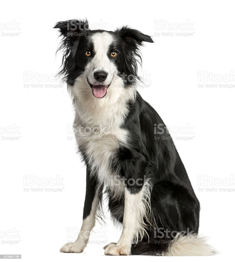 Border Collie sitting in front of a white background stock photo