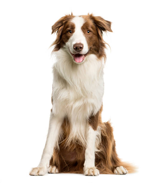 Border collie sitting in front of white background picture id1137958459?b=1&k=6&m=1137958459&s=612x612&w=0&h=dvdm5zhe56fthbd9tl9uepus8ibrr1awl259l2gvqzo=