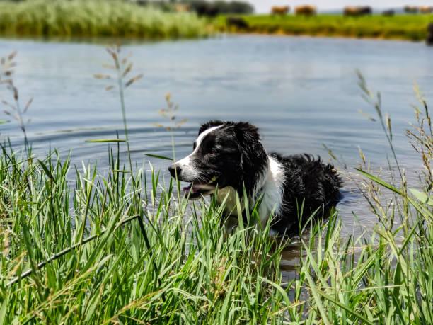 Border collie standing in water next to green reeds picture id1094828512?b=1&k=6&m=1094828512&s=612x612&w=0&h=jb3d1ym1rpjwj a18 fe1gr7gurx5j1jdl gwsoohie=