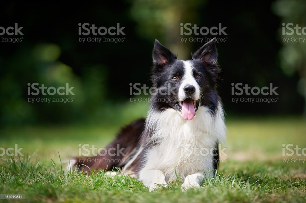 Border collie tomando un descanso - foto de stock