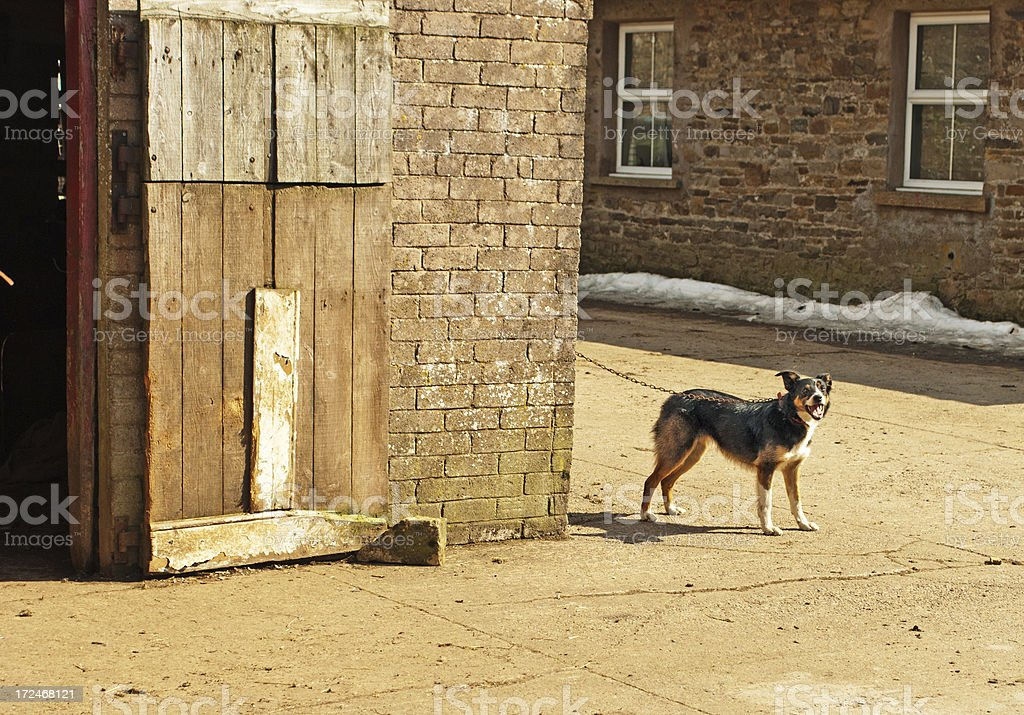 Border collie tethered outside farm outbuildings royalty-free stock photo
