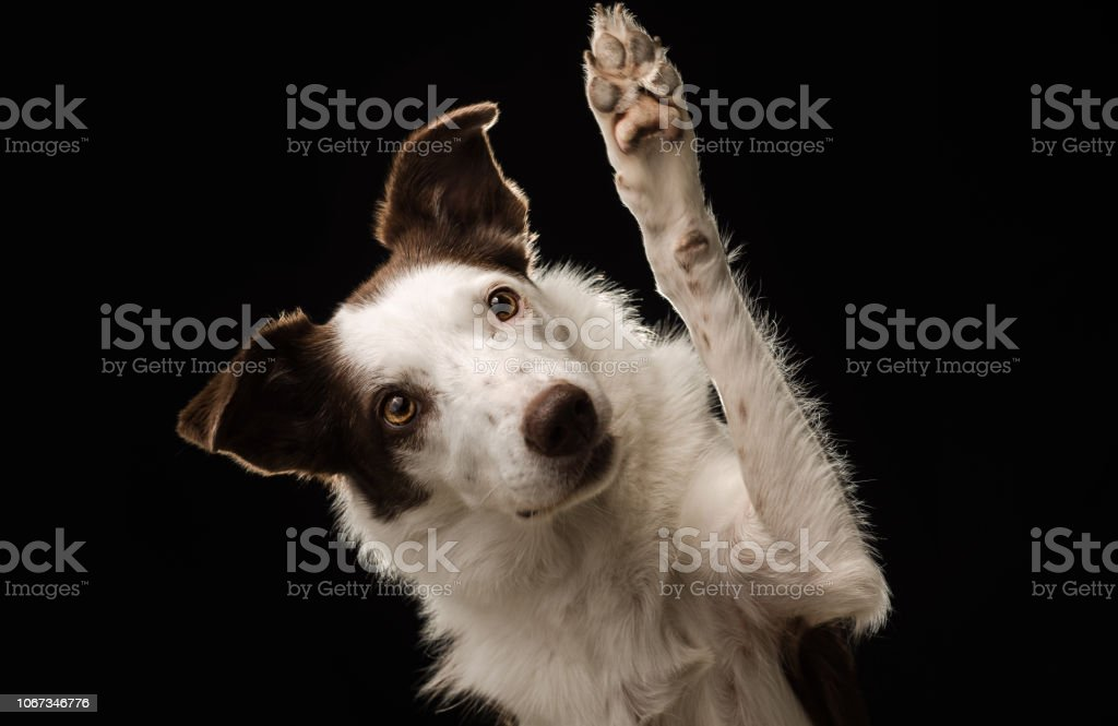 Border Collie 'waves' against a black background stock photo
