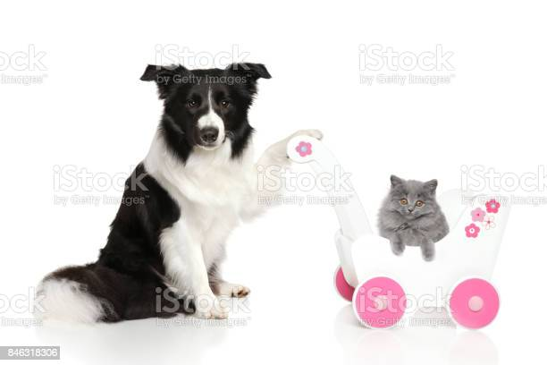 Border collie with british kitten picture id846318306?b=1&k=6&m=846318306&s=612x612&h=6lojxleurqc ub4tgq75l9ujn6mycszf1zabh oopxa=