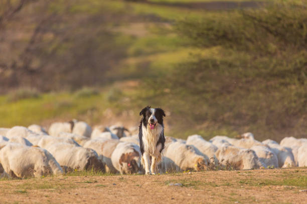 Border collie with herd Border collie with herd of sheep at desert herding stock pictures, royalty-free photos & images