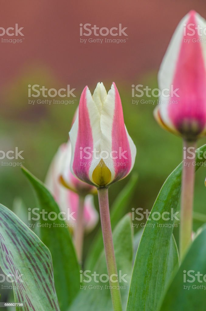 Border legend tulip. Beautiful spring flowers royalty-free stock photo
