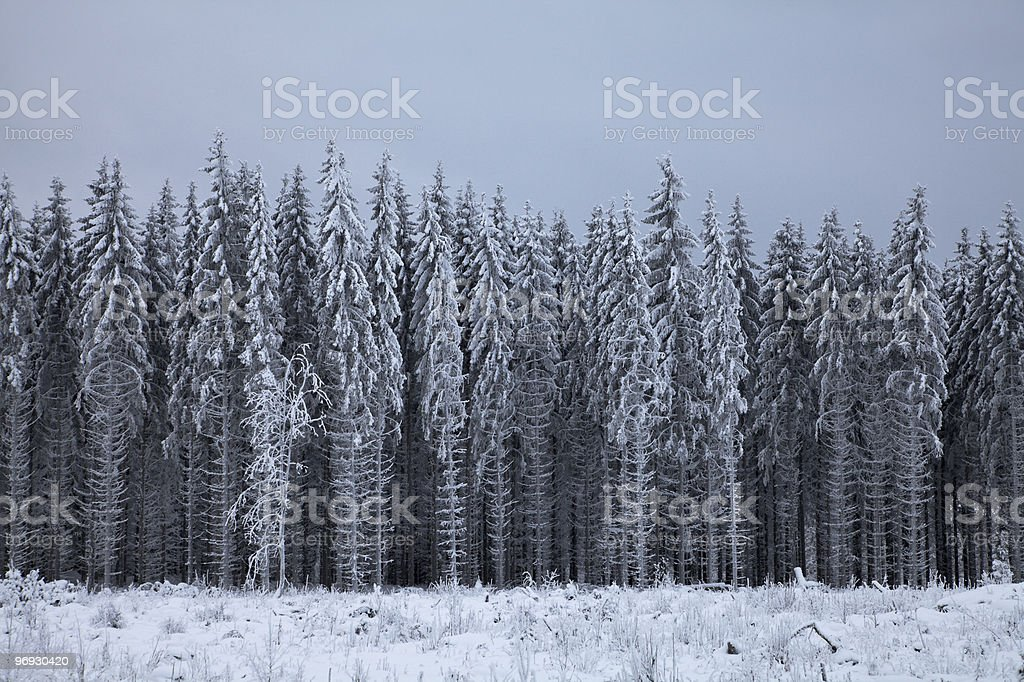 Border of a winter forest royalty-free stock photo