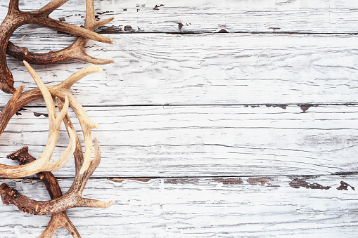 Border of real white tail deer antlers or sheds over a rustic wooden table. These are used by hunters when hunting to rattle in other large bucks. Free space for text. Top view.