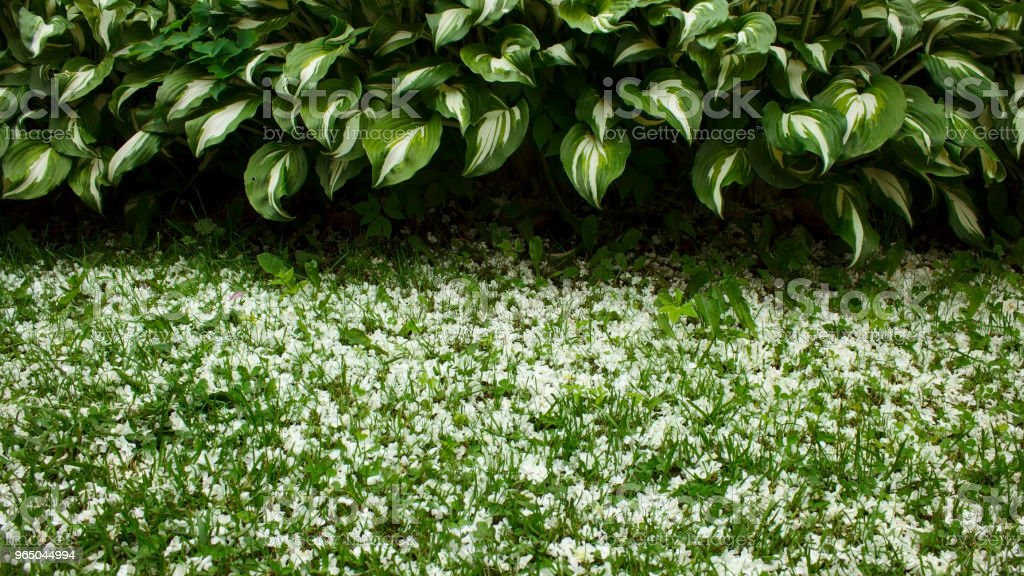 Border of hosts with green and white leaves and grass, covered with white petals zbiór zdjęć royalty-free