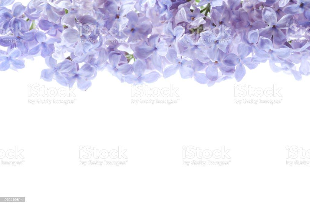Border of lilac flowers bouquet of purple flowers is isolated on border of lilac flowers bouquet of purple flowers is isolated on white background view mightylinksfo