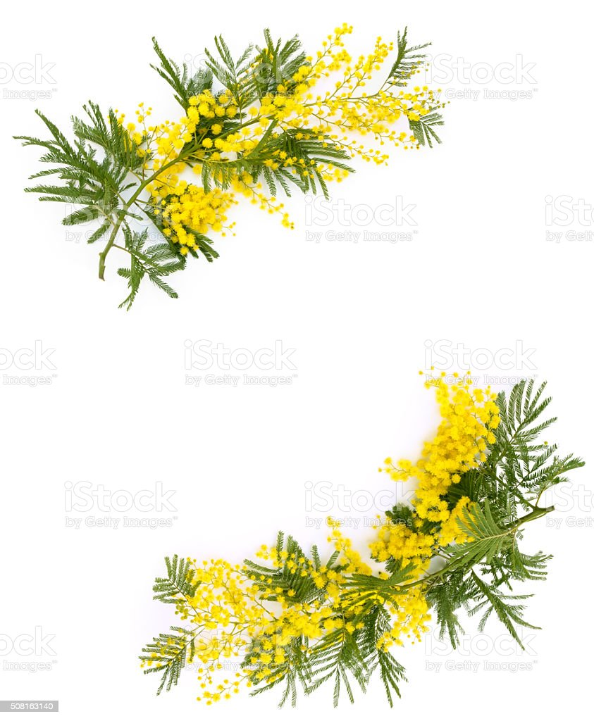 Border of mimosa flowers. stock photo