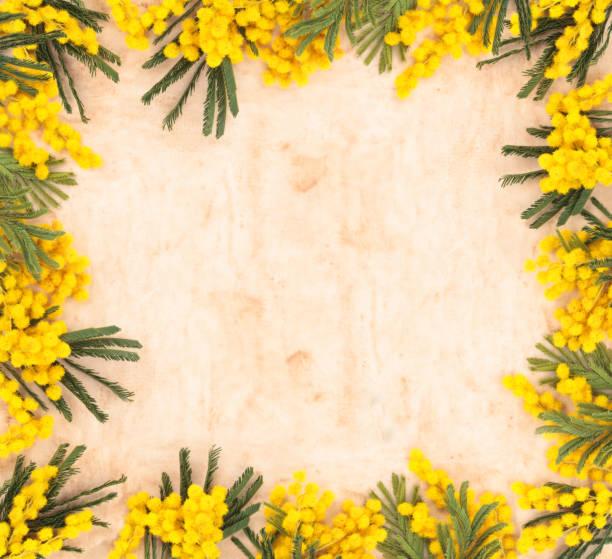 confine di fiori di mimosa. - immagini mimosa 8 marzo foto e immagini stock