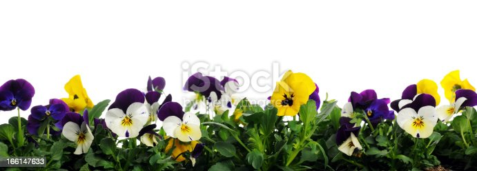 border of pansies on white background