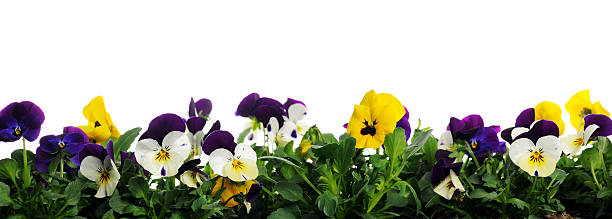 border of pansies border of pansies on white background pansy stock pictures, royalty-free photos & images