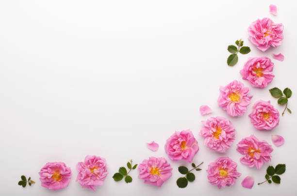 Border of pink damask roses and green leaves on white background. stock photo