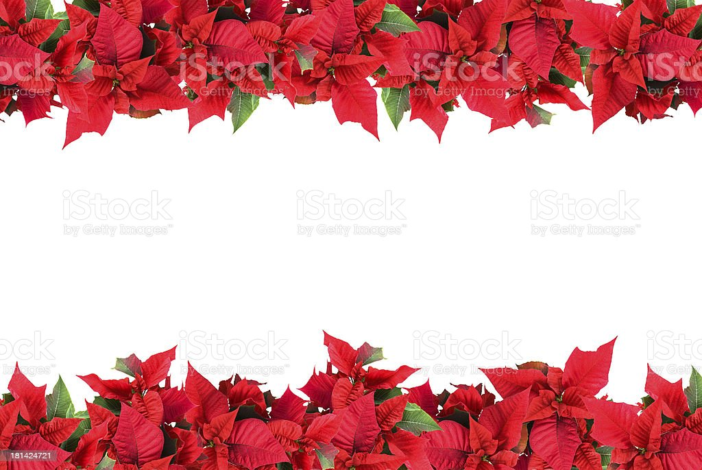 Border of poinsettias on white background stock photo