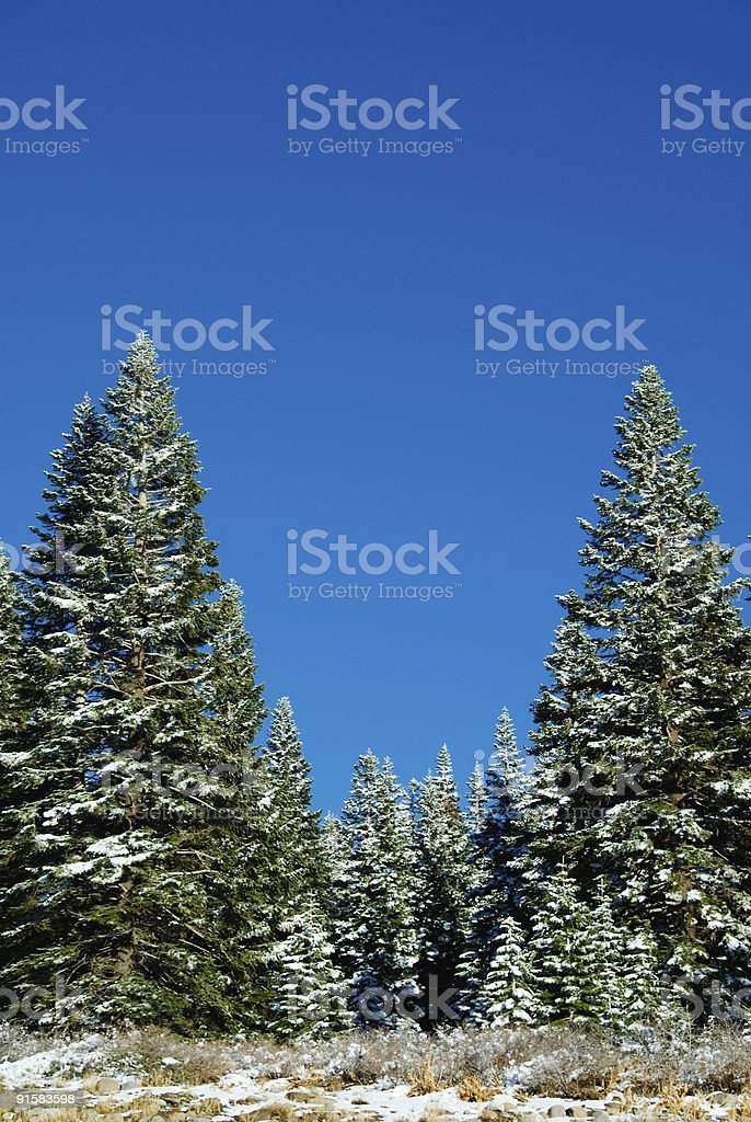 Border of snow covered pine trees royalty-free stock photo