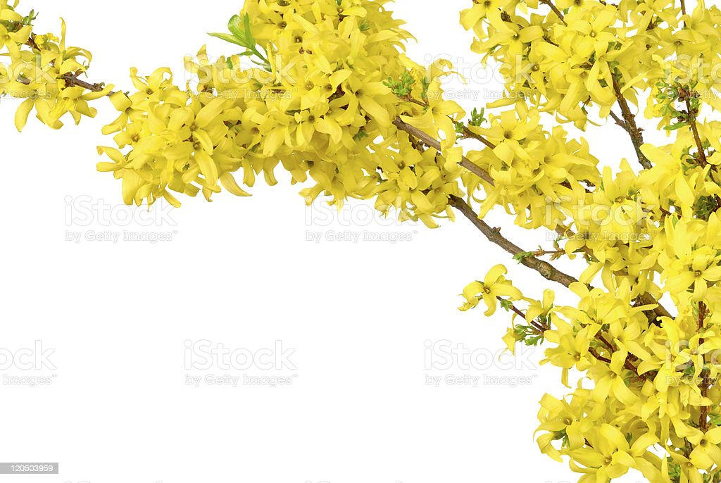Border of yellow spring blossoms stock photo