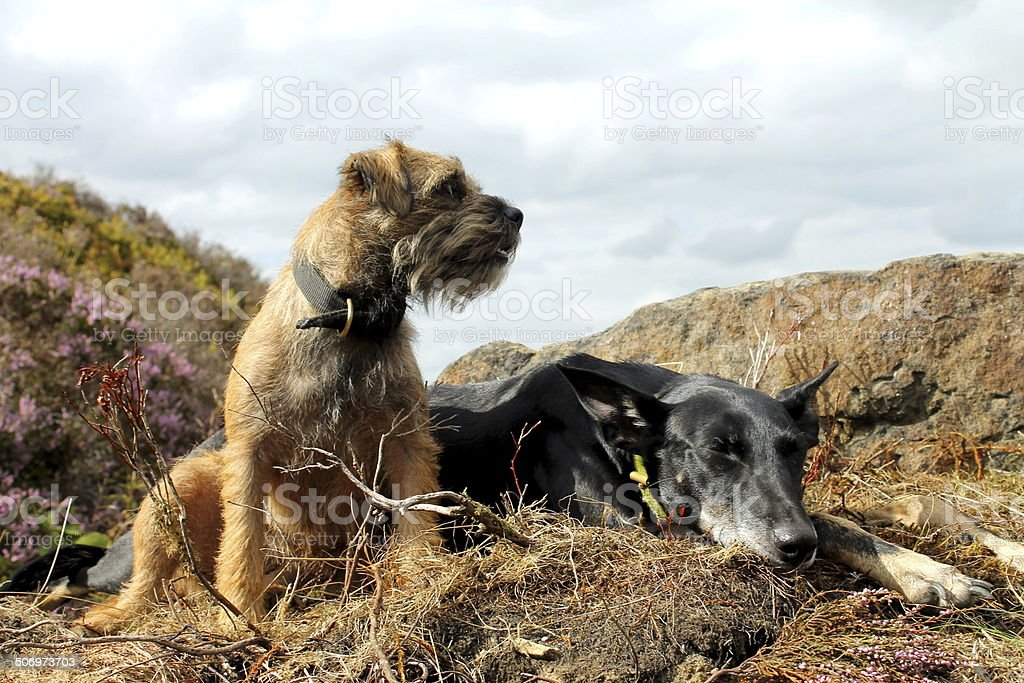 Border Terrier female and Kelpie lurcher sat atop of rock stock photo