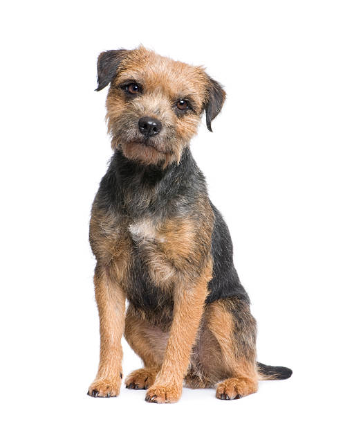 Border terrier picture id93216111?b=1&k=6&m=93216111&s=612x612&w=0&h=wpbrro7pifgz6eop4nrxax2yp84pyj1ncrte8exfyc4=