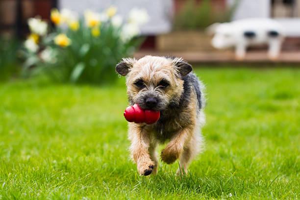 Border Terrier Running – Foto