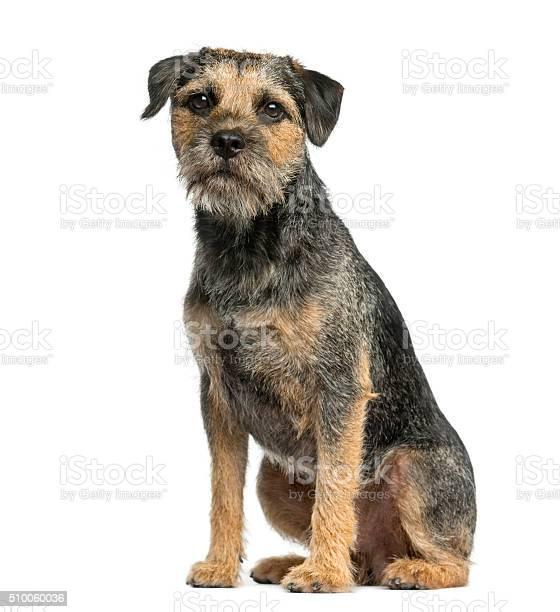 Border terrier sitting in front of a white background picture id510060036?b=1&k=6&m=510060036&s=612x612&h=ntrd 6jtfrjxzijdttz p44dpti7xfetfaja9fdi9yu=