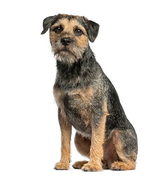 Border terrier sitting in front of a white background picture id510060036?b=1&k=6&m=510060036&s=612x612&w=0&h=gitthf2n0mzr7fkwqu3qsatf2xrjullmol2l2nakkc0=