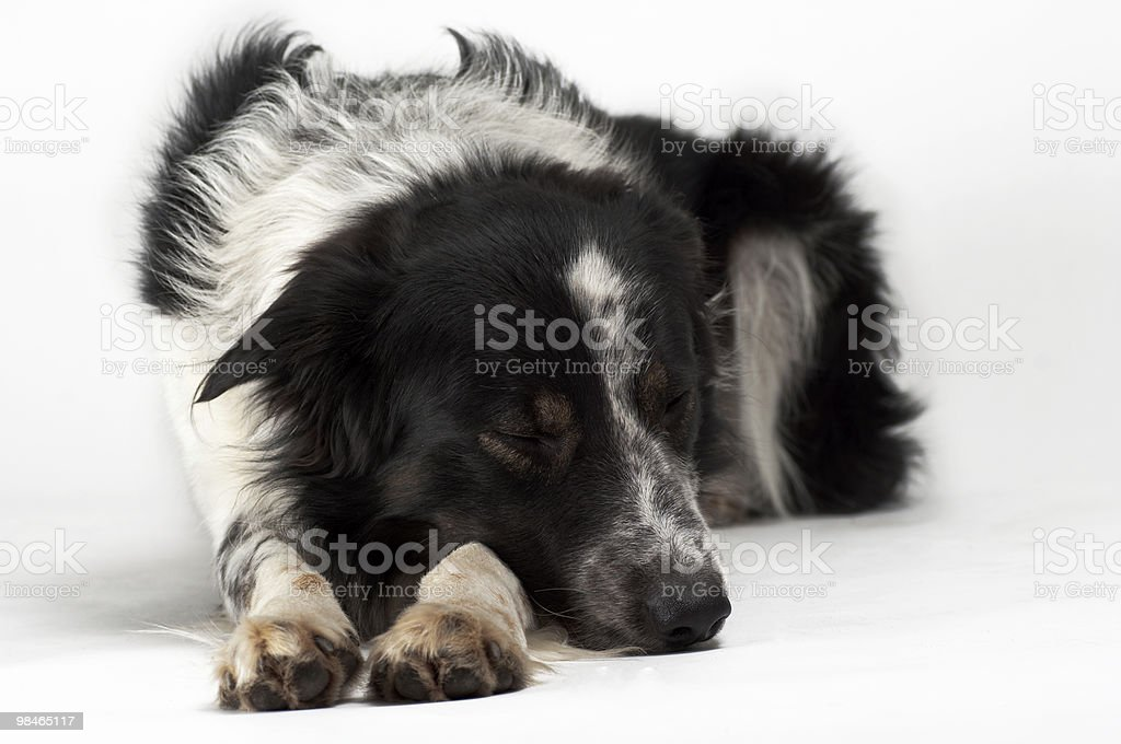border-collie laying in studio royalty-free stock photo