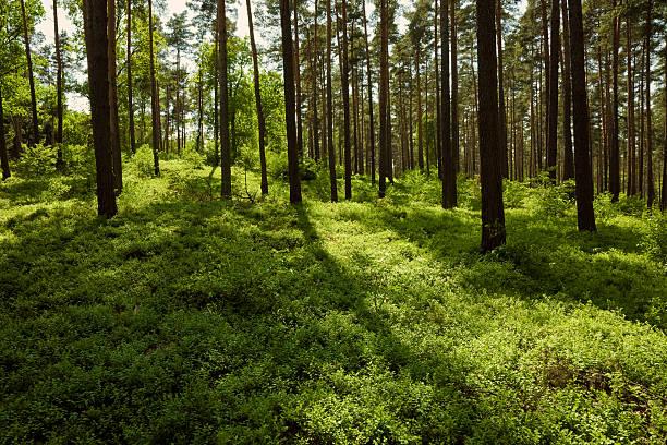 Forêt boréale - Photo