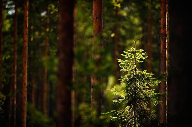 boreal forest - fur bildbanksfoton och bilder