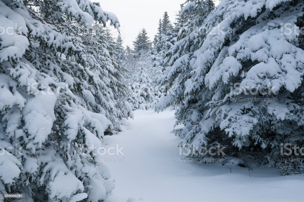 Boreal Forest Winter Scenes With Fresh Fallen Snow Stock Photo