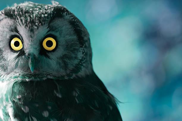 Boreal owl at night picture id498116791?b=1&k=6&m=498116791&s=612x612&w=0&h= cr3bjuhkyrlta7vwecephkgj8jxuc5ggq 8okbqyr0=