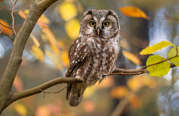 boreal owl in autumn leaves - owl stock photos and pictures