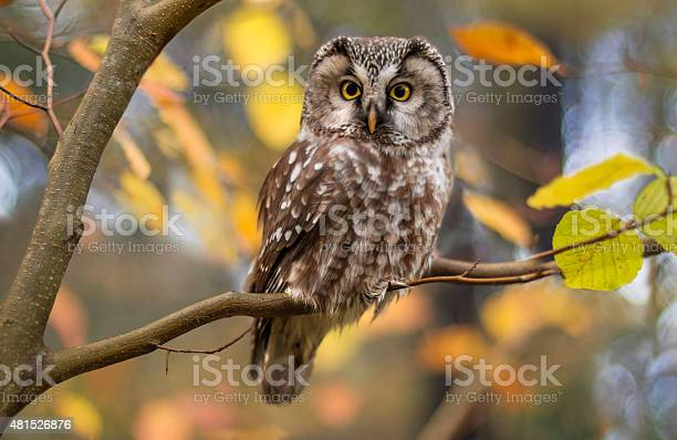Photo of Boreal owl in autumn leaves