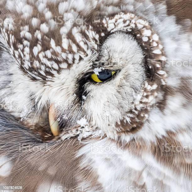 Boreal owl picture id1097824528?b=1&k=6&m=1097824528&s=612x612&h=myce341zoczgmx5e5ughijlo5rhef3c9cksg6kdbxq4=