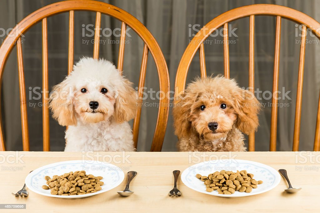 Bored and uninterested poodle puppies with a plate of kibbles stock photo