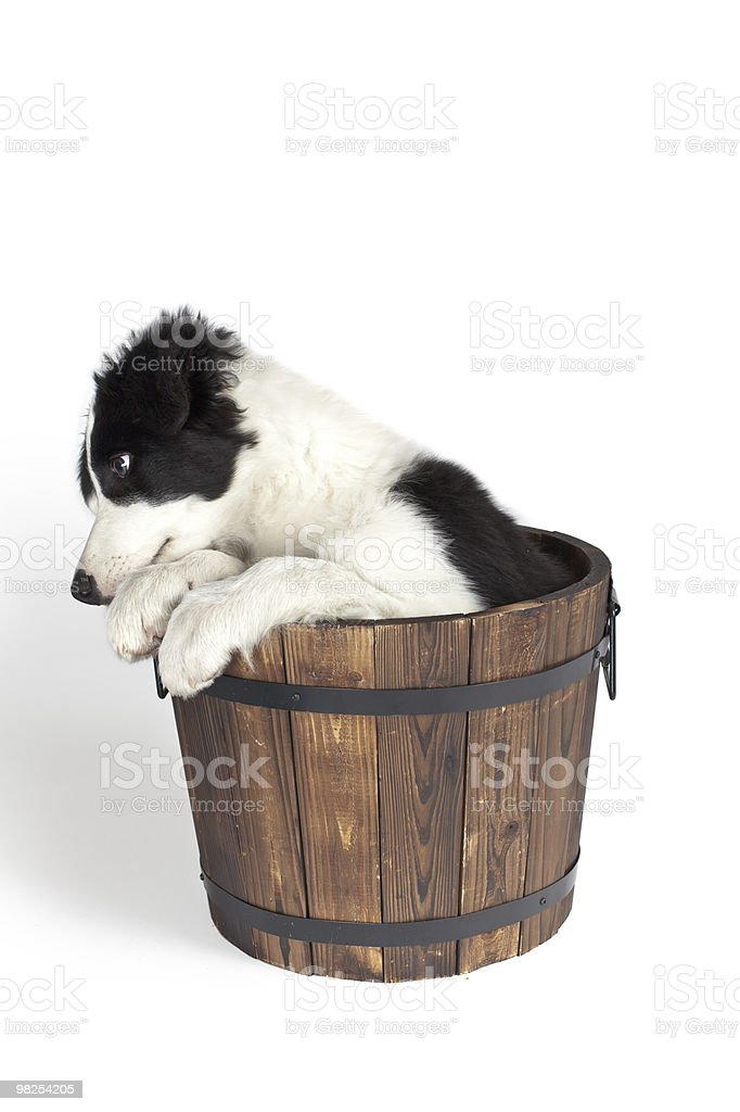bored border collie puppy sitting in wooden pot royalty-free stock photo