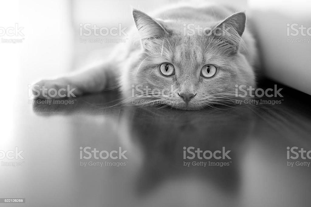 Bored cat - black white stock photo