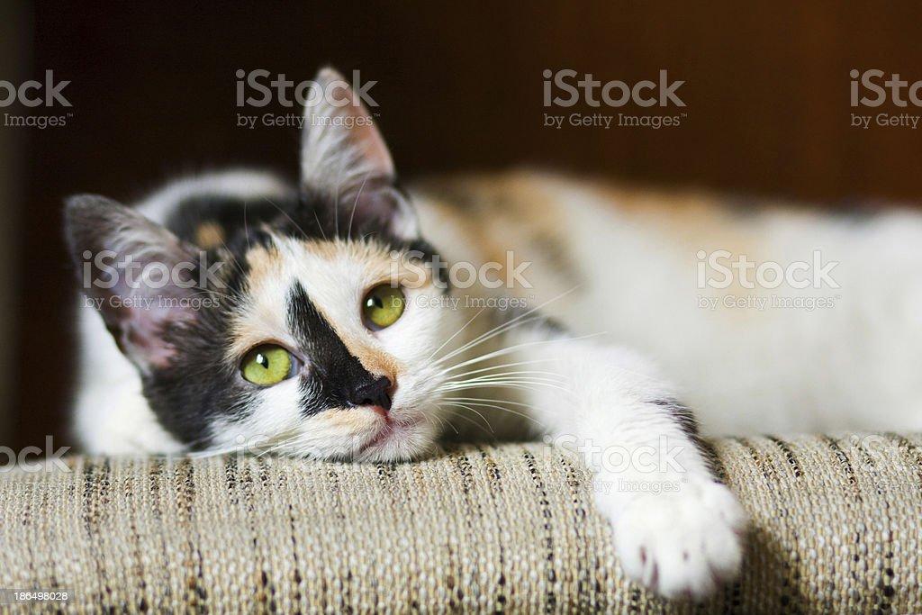 Bored cat royalty-free stock photo