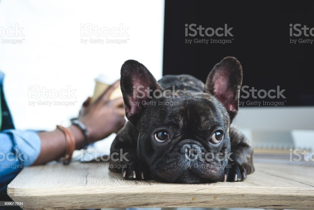 Bored dog waiting for African american man to finish work by computer stock photo