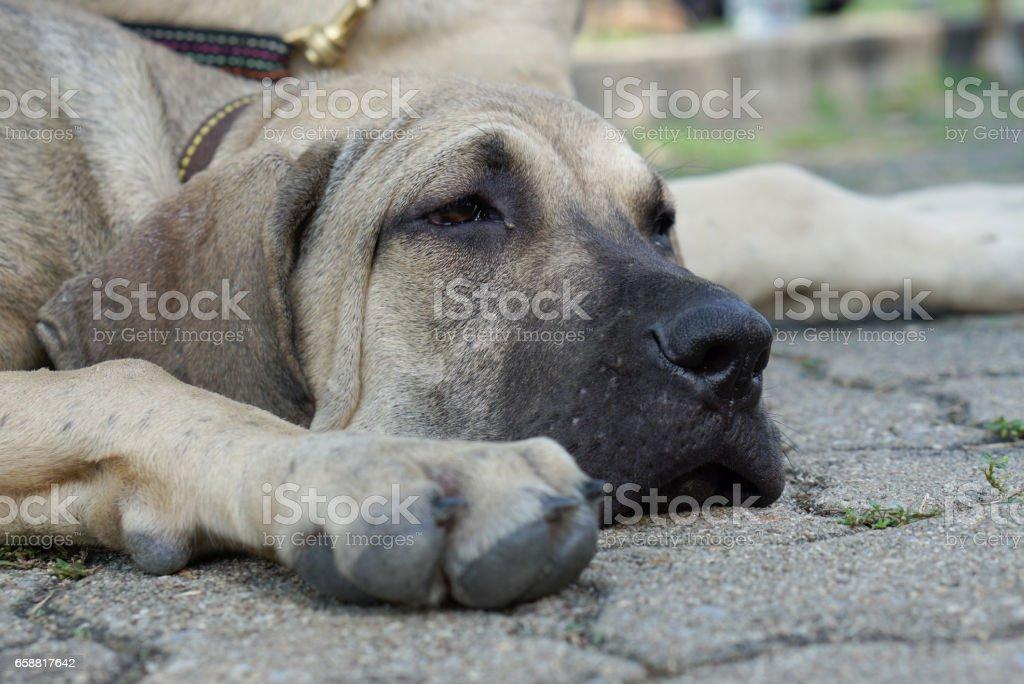 Bored face of Fila Brasileiro puppy on the ground stock photo