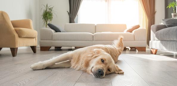 Bored golden retriever resting on the living room.lying on the floor.