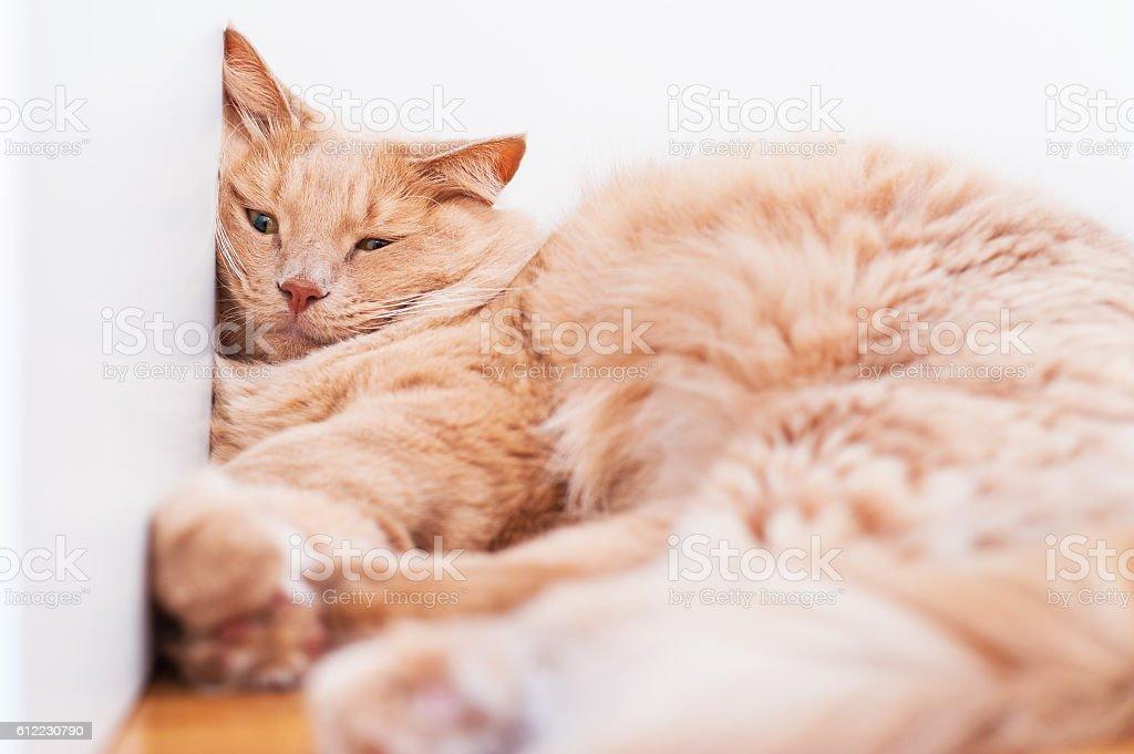 Bored house cat sleeping stock photo